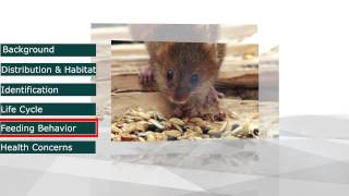 Pestec: The House Mouse (Mus musculus)