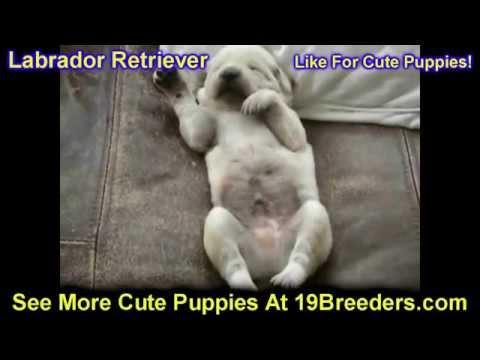 Labrador Retriever, Puppies, Dogs, For Sale, In Montgomery, Alabama, AL, 19Breeders, Hoover, Auburn