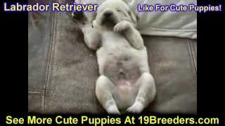 Labrador Retriever, Puppies, For, Sale, In, Birmingham, Alabama, Al, Montgomery, Tuscaloosa, Jeffers