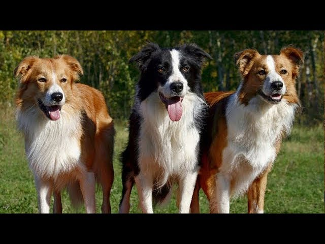 10 самых умных пород собак в мире