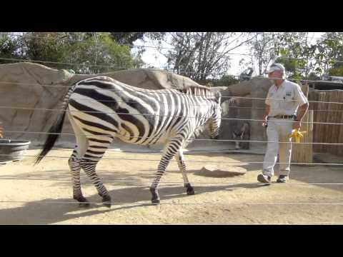 Zebra Training  San Diego Zoo  YouTube