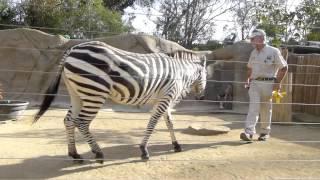 Zebra Training ~ San Diego Zoo