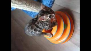 #питомник бенгальских кошек AmatyCay.Продажа котят