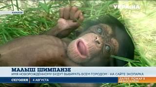 В Харьковском экопарке родился малыш шимпанзе