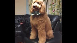 愛犬のオーストラリアンラブラドゥードルのユメと初めてWizDogのダンス...