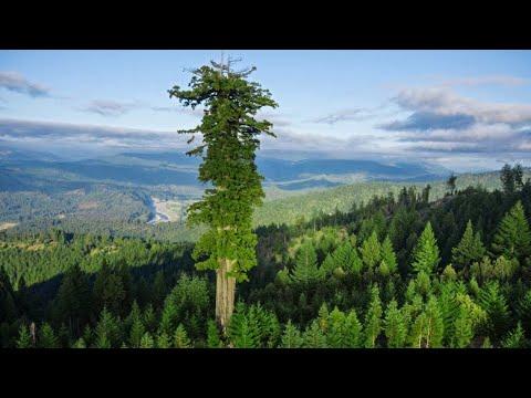 أطول وأقدم شجرة في العالم , 5 ظواهر غريبة ستراها لاول مرة في حياتك  - نشر قبل 3 ساعة