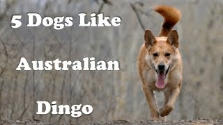 Australian Dingo and 5 other dogs like Dingos
