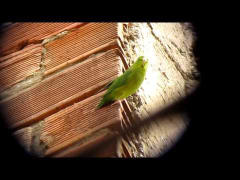 Почти эндемичный очковый попугай - Forpus conspicillatus 2 - Медельин, C Анды