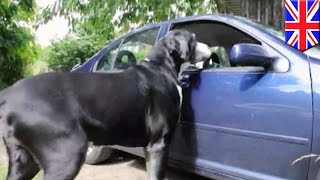 Massive Dogs: Uk Great Dane Weighs 210 Lb, Eats $60 Worth Of Food Per Week - Tomonews