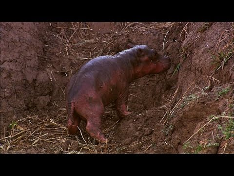 A Newborn Hippo Takes His First Breath