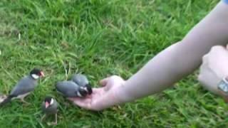 ハワイの野生文鳥です。アラモアナ・ビーチ・パークの中心で大通り側に...