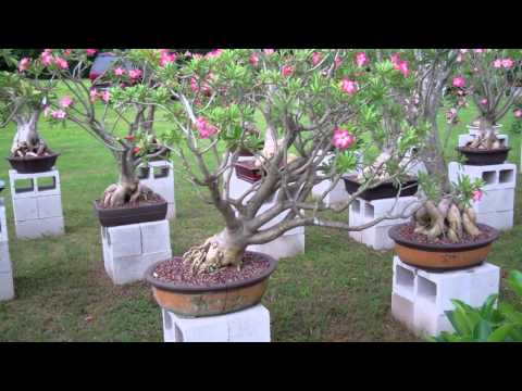 The best adenium flowers from Thailand  YouTube