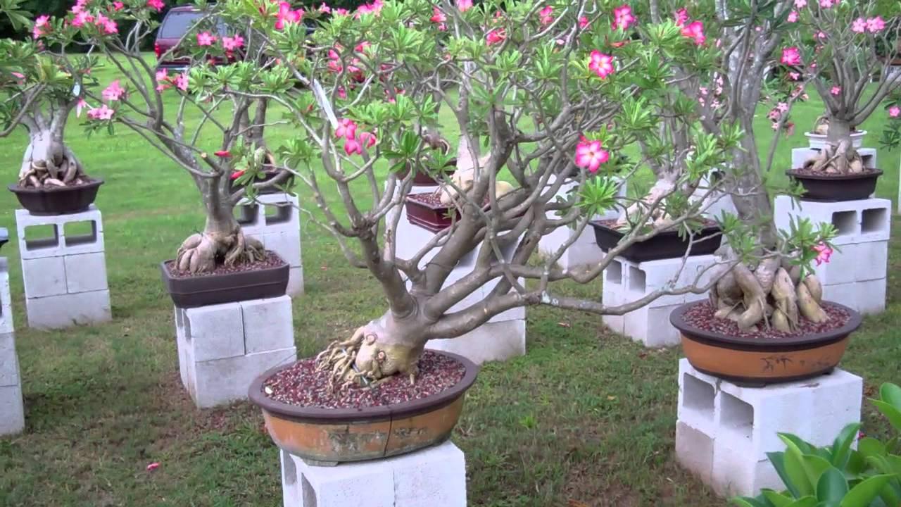 Desert Rose Bonsai Youtube