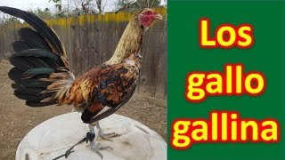 los-gallo-gallina