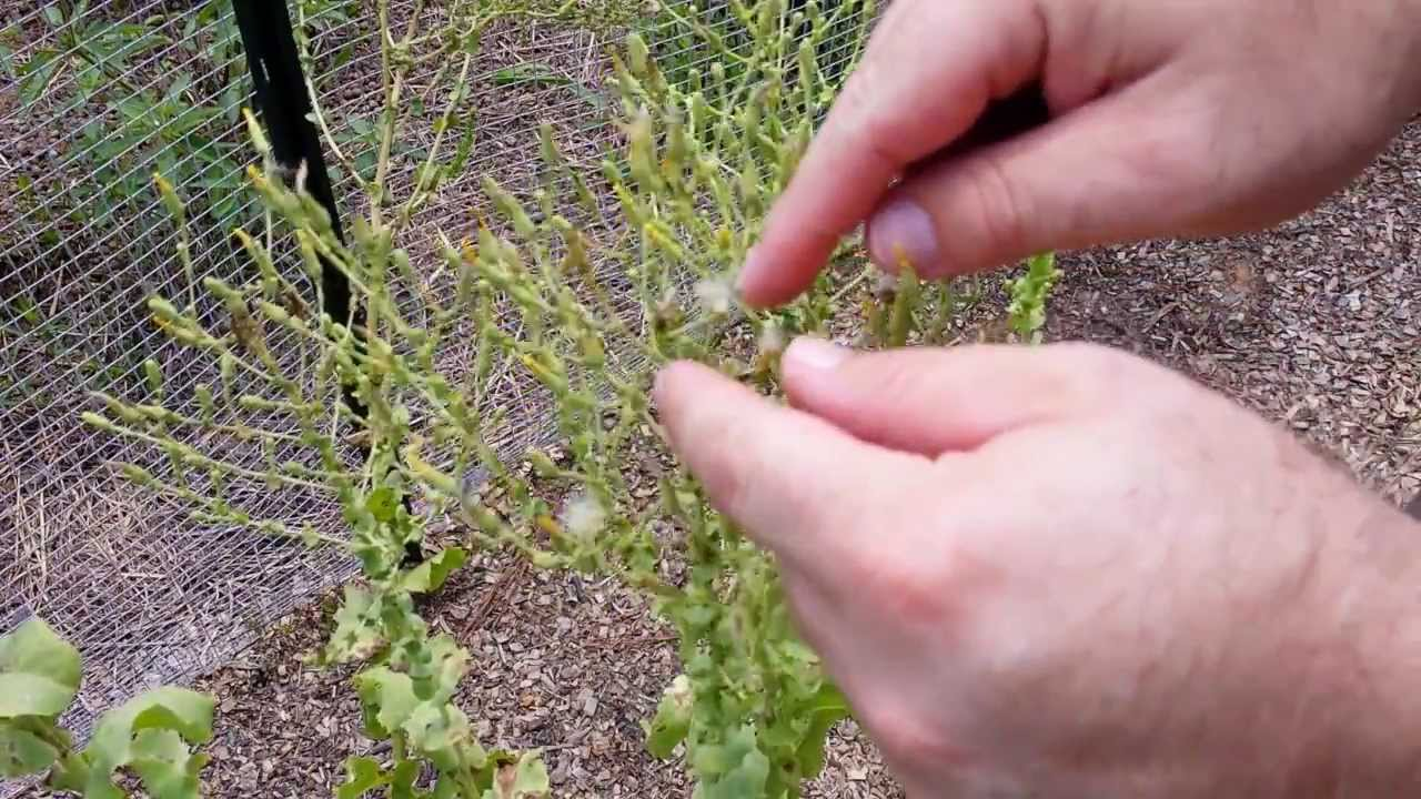 How To Save Seed: Lettuce - YouTube