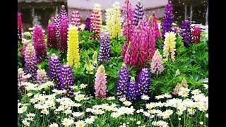 Красивый сидерат для сада и клумбы – люпин