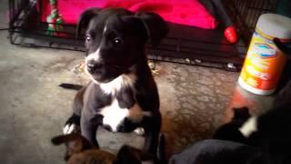 Teaching four 6-week-old puppies impulse control