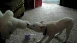 Siberian Husky Pup Ravaging A Teddy Bear
