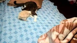 メスのフェレットしーちゃんに襲われてるオスの猫ジローです。笑.