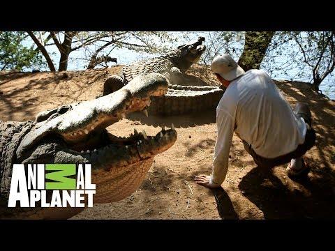 ¡Cocodrilo tira a Frank de un coletazo!   Wild Frank en África   Animal Planet