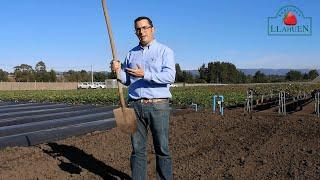 Agrícola Llahuen: Consideraciones Pre-plantación en cultivo de Frutilla/fresa
