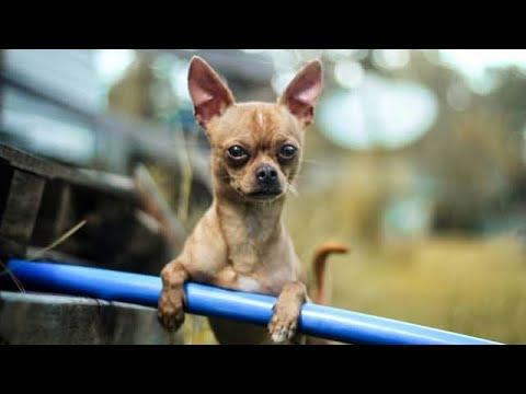 Perry & Kobi The Chihuahuas- Incredible Dog Tricks