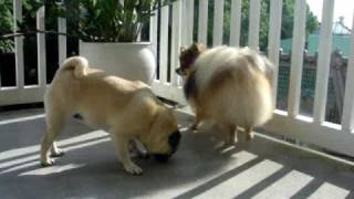Pomeranian And Pug On The Terrace