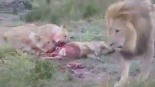 Aslanlar hamile domuzu ve yavrusunu böyle yedi