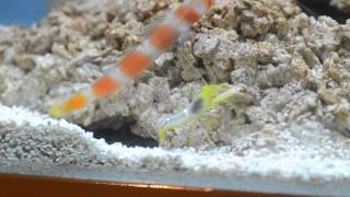 Suntail goby and yellow pistol shrimp pair in tank 20/8/13