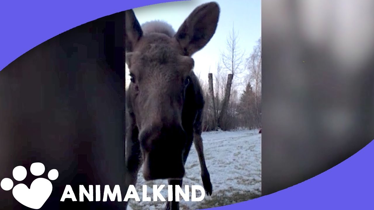 baby-moose-gets-too-close-for-comfort