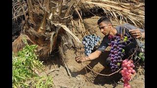 افضل وقت وطريقه لغرس شتله عنب |How To Grow Grapes In Your Garden