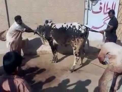 qurbani cow cutting 2012 - YouTube