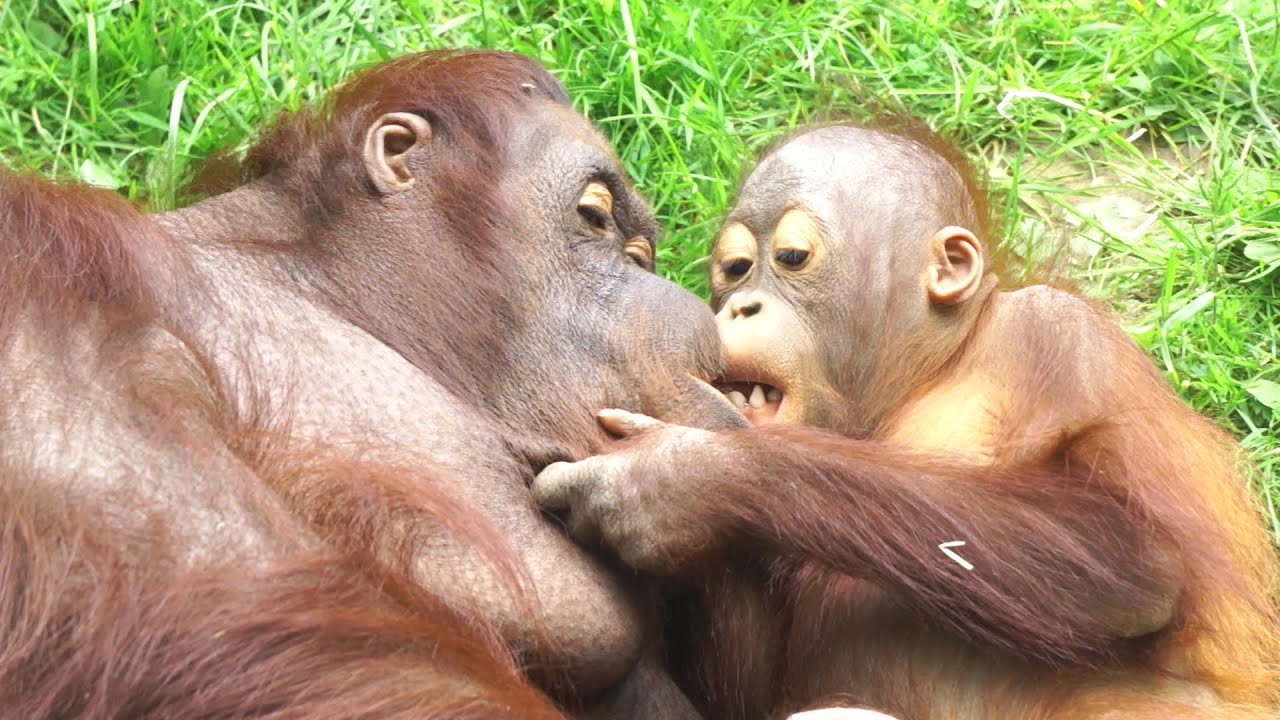 Baby Orangutan Gives Mum Kisses And Cuddles - YouTube