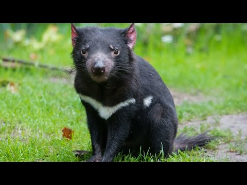 Species Summary #3: Tasmanian Devil