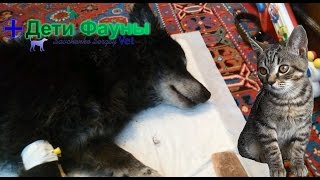 Пропала собака, случай из практики. Автор ветеринар(Друзья, небольшая история, у человека пропала собака, ее не было четверо суток, пришла собака домой самостоя..., 2016-04-29T17:53:49.000Z)