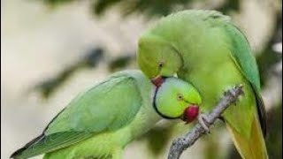 How I Make New Indian Ringneck Parrot Pair in Few Days?its Impossible?Expert idea Tips in Urdu/Hindi