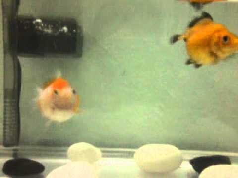 Baby Pearlscale goldfish - YouTube
