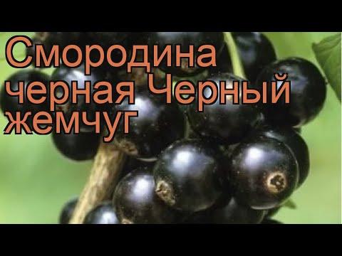 Смородина черная Черный жемчуг (ribes Nigrum) 🌿 обзор: как сажать, саженцы смородины Черный жемчуг