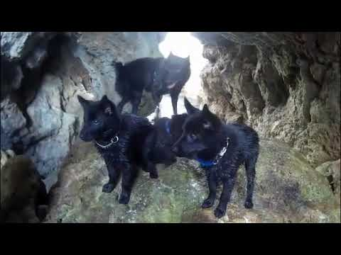 3 Schipperke puppies first sailing and beach exploration