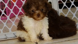 Toy Poodle, Puppies, For, Sale, In, Charleston, South Carolina, Sc, Cayce, Beaufort, Bluffton, Ladso
