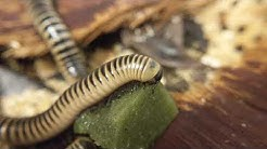 Ivory Millipede Feeding (Repashy Morning Wood Review)