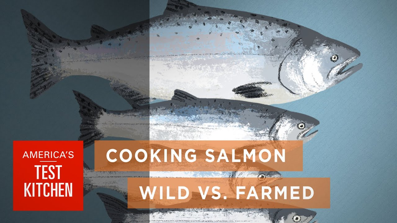Science: How Wild Salmon Differs From Farmed Salmon And How To Cook Salmon  To The Right Temperature  Youtube
