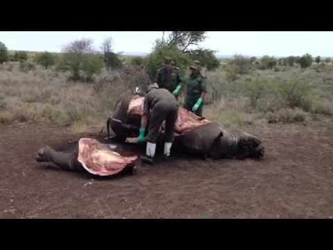 Rhino autopsy