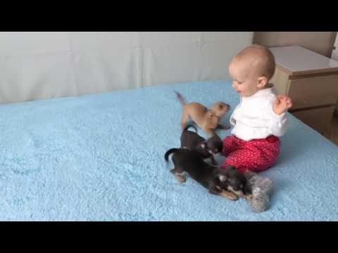 Чихуахуа и дети весёлая компания. Продажа щеночков, замечательные перспективные, социализированные❤️