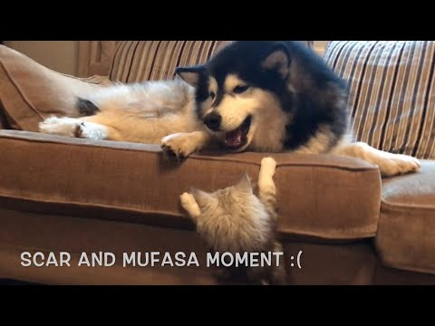 THE BEST CAT V DOG BATTLE EVER | MALAMUTE WITH CATS