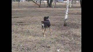 МУШКА гуляет.Замечательная,воспитанная домашняя собака в дар.