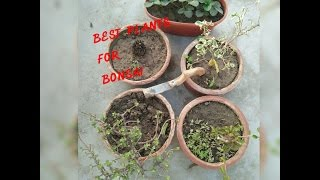 How to  use fertilizer in bonsai/ best plant for make bonsai