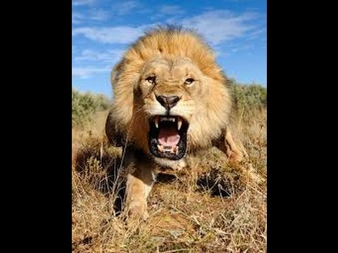 Анекдот про льва -