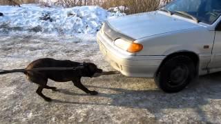 Питбуль вот самая сильная собака!