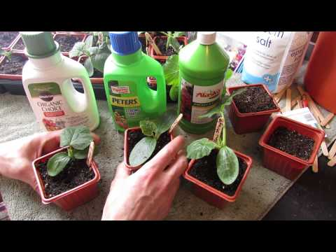 when-&-how-to-fertilize-your-squash,-zucchini-&-cucumber-seeds-starts:-npk---the-rusted-garden-2014